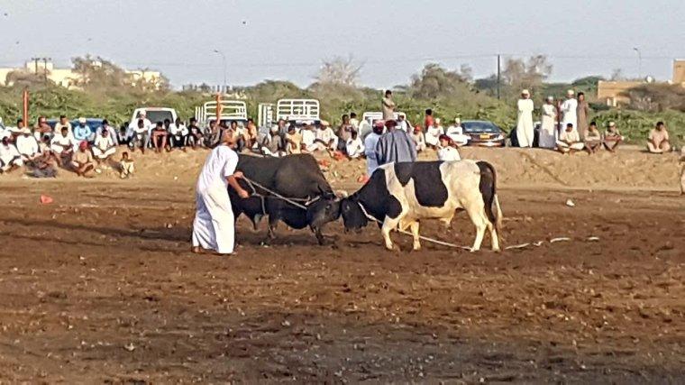 combat de bœufs à Oman - elle a 40 ans